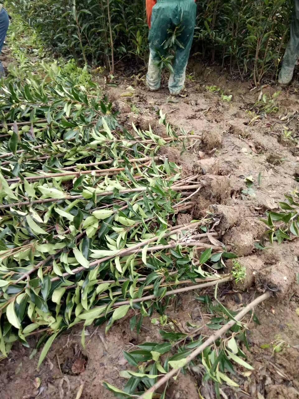 江西色块容器苗农户种植物流配送集团公司