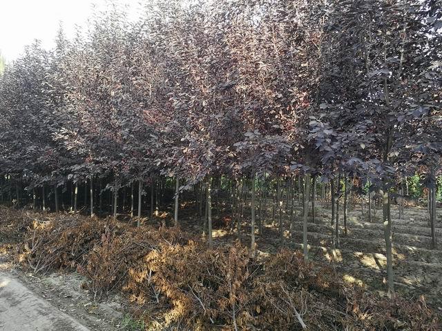 新疆玛纳斯县美景园苗圃