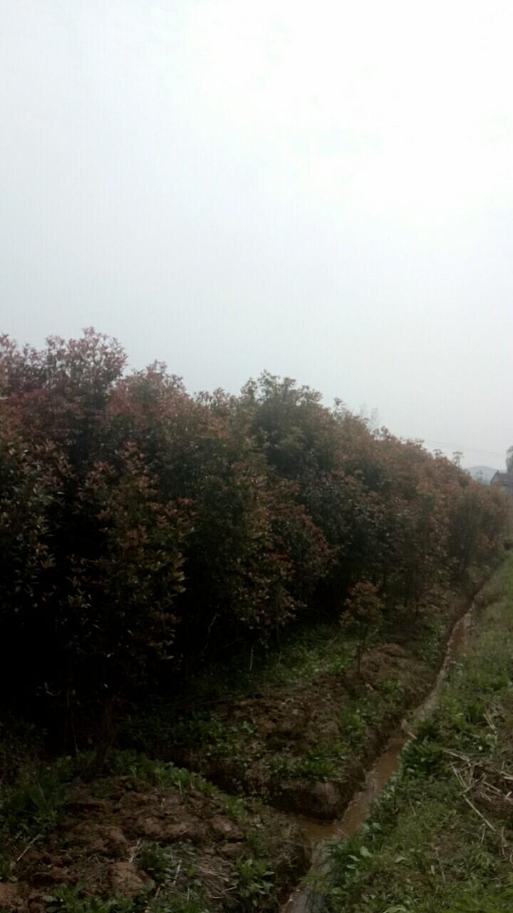 舒城私人桂花种植