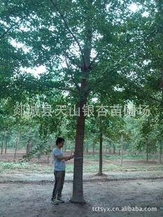 供应银杏树苗 银杏苗木 银杏树 银杏树20公分 银杏树25公分(图)