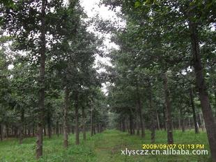 供3-15公分银杏树苗|绿化苗木(基地指树挖树 诚实做人诚信做事