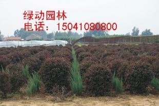供应密枝红叶李球 密枝红叶李球报价 密枝红叶李落地球价格