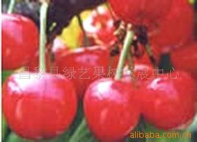 供应大樱桃树