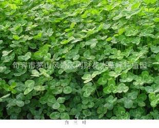 优质牧草白三叶草籽 绿化用