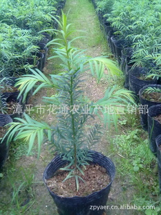 产地直销南方红豆杉盆栽苗 批发曼地亚红豆杉苗 绿化�m