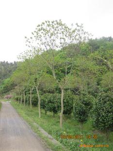 独家供应园林景观绿化苗木/苗圃苗:乌桕