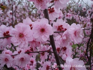 本基地提供美人梅及各种规格花灌木,乔木,樱花,红叶碧桃,月季