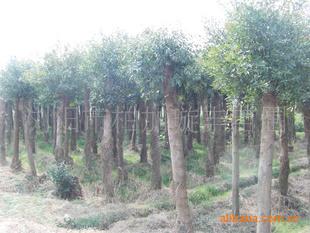低价精品提供18公分移栽杜樱树