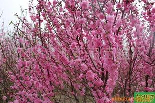 供应梅花系列;榆叶梅、珍珠梅、美人梅、腊梅