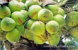 供应海南产新鲜青椰子