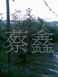 (50元特价)供应盆栽红豆杉。
