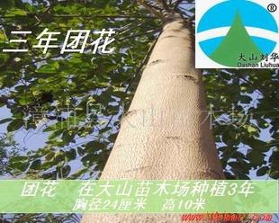 供应黄梁木(团花树 速生造林苗 生长比桉树快)