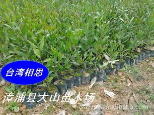 供应台湾相思(相思树,荒山复绿,水土保持)