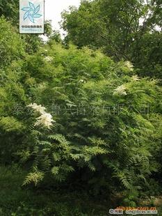 供应各种价格实惠的优质绿化树苗——珍珠梅