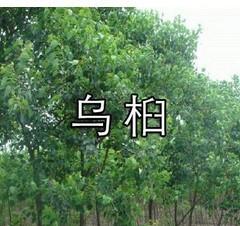 乌桕 腊子树、桕子树、木子树