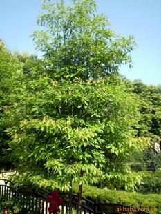 供应四季常绿树楠木