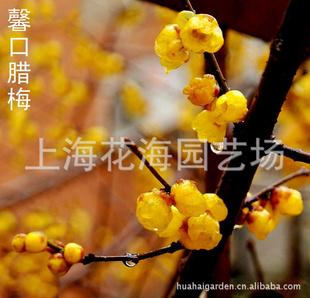 专供别墅庭院绿化苗木 有馨口腊梅、桂花、日本红枫、樱花等