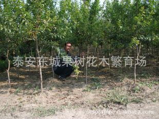 供石榴苗、泰山红石榴苗、牡丹花石榴苗、3公分石榴树
