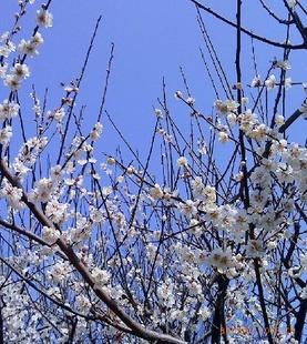 供应腊梅 榆叶梅 黄刺梅 红树梅 垂梅 珍珠梅