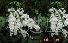 供应苗木花卉珍珠梅