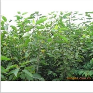 l供应高品质、高质量的  樱桃苗
