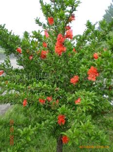 浏阳市明晨园林绿化苗圃供应花石榴树
