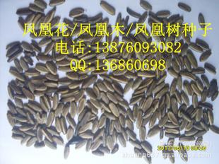 凤凰木种子 红花楹树 凤凰树 绿化苗木种子1斤  1100粒