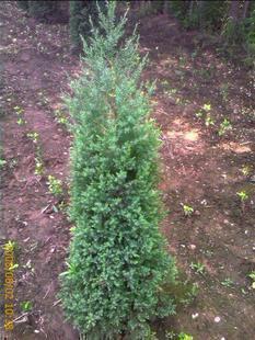 刺柏 大小规格齐全 适用各种绿化工程 庭院绿化