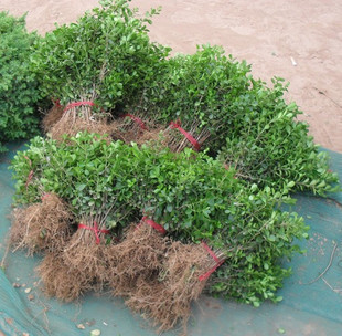 小叶黄杨苗  移栽大苗 适应各种绿化工程苗