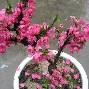 庭院观赏花卉 红花碧桃苗 寿星桃桃树苗 爱的祝福,永远爱你