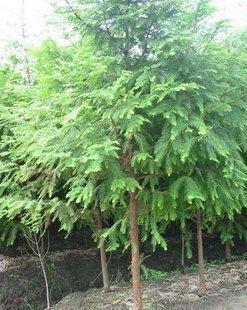 出售耐水湿速生树种遗留珍贵植物水杉苗水杉树苗