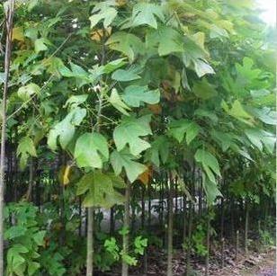 各种规格马褂木树苗