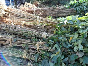 绿化苗自产自销日本樱花树苗 樱花小苗 林木树苗 绿化工程小苗