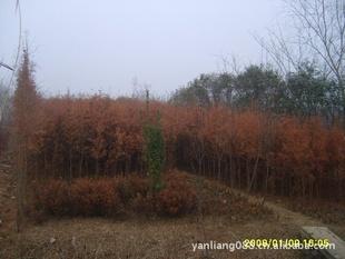 供应 落羽杉 池杉 水杉 小苗 高度50-80