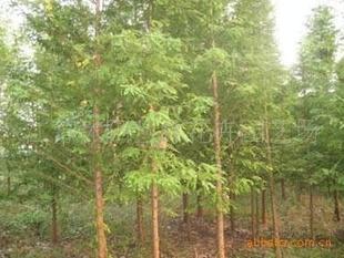 常年大量供应水杉、池杉、柳杉、云杉等苗木