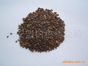产地供应白扦云杉2011年新种子