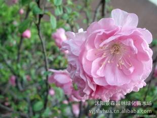 榆叶梅【 常年大量供应】优质大花重瓣榆叶梅