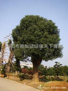 浏阳绿雄天下苗圃供应乔木   高品质樟树  0731 83122920