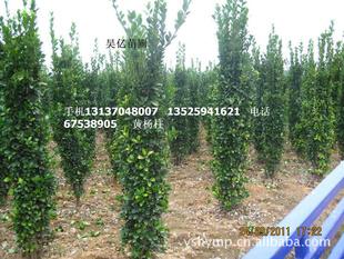 黄杨柱 大叶黄杨 绿化花卉 园林景观 批发