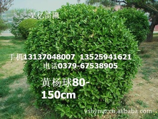黄杨球绿篱 各种黄杨造型