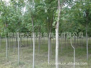 长期售彩色苗木(红枫,彩叶树)大小规格齐全,价格优惠