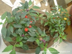 吊钟柳,五彩椒,鼠尾草,薰衣草等的种草花