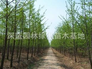 河北省保定市大量供应9-15CM绿化苗木银杏树木及各类花灌木乔木