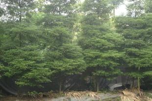 楠木 华鸿苗圃 精品苗圃 苗木 供应多种苗木精品 量大从优