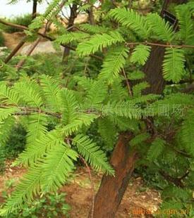 大量供应水杉(图)