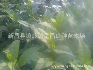 批发价销售优质成活率高梅占茶叶苗