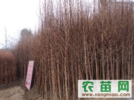 大量供应:水杉、落羽杉、中山杉、池杉等