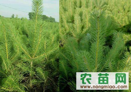 定植樟子松1米-1.8米