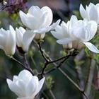 哪里有卖白玉兰树哪里白玉兰价格卖的便宜卖的较低