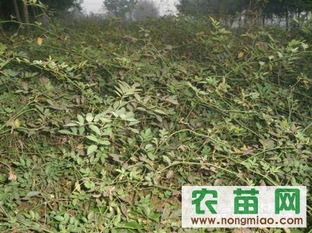 红帽月季、沿阶草、蔷薇、金丝桃、鸢尾、大叶黄杨等